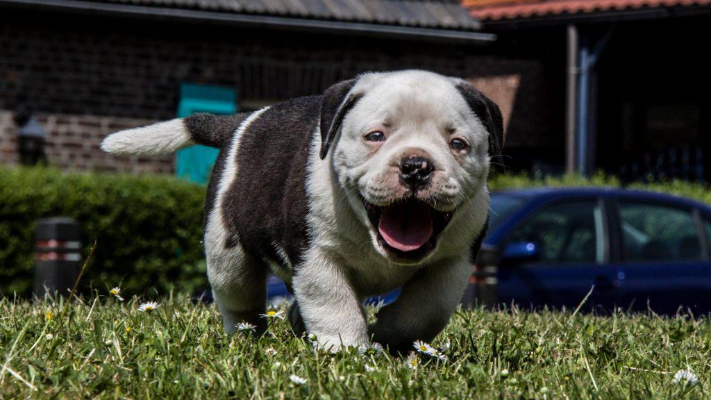old english bulldog pup 8 weeks old