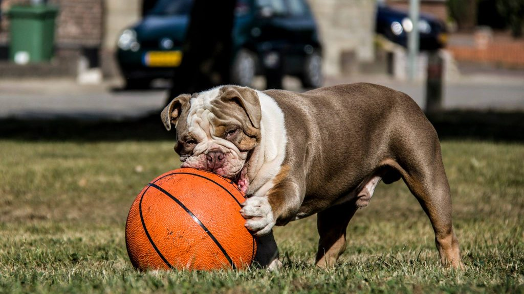 old english bulldog genesis remo rebelbullys