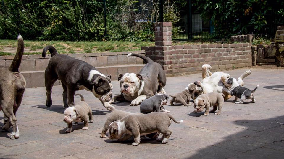 old english bulldogs