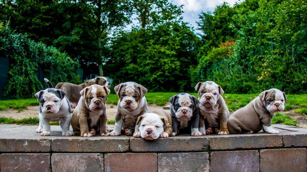 Old English Bulldog pups te koop (2017)
