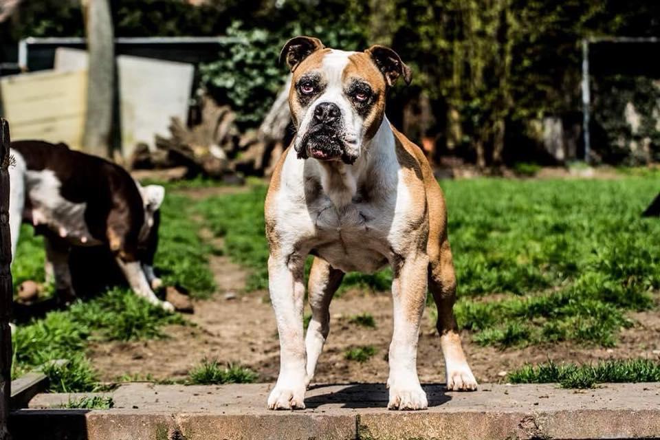 Rebel Old english bulldog