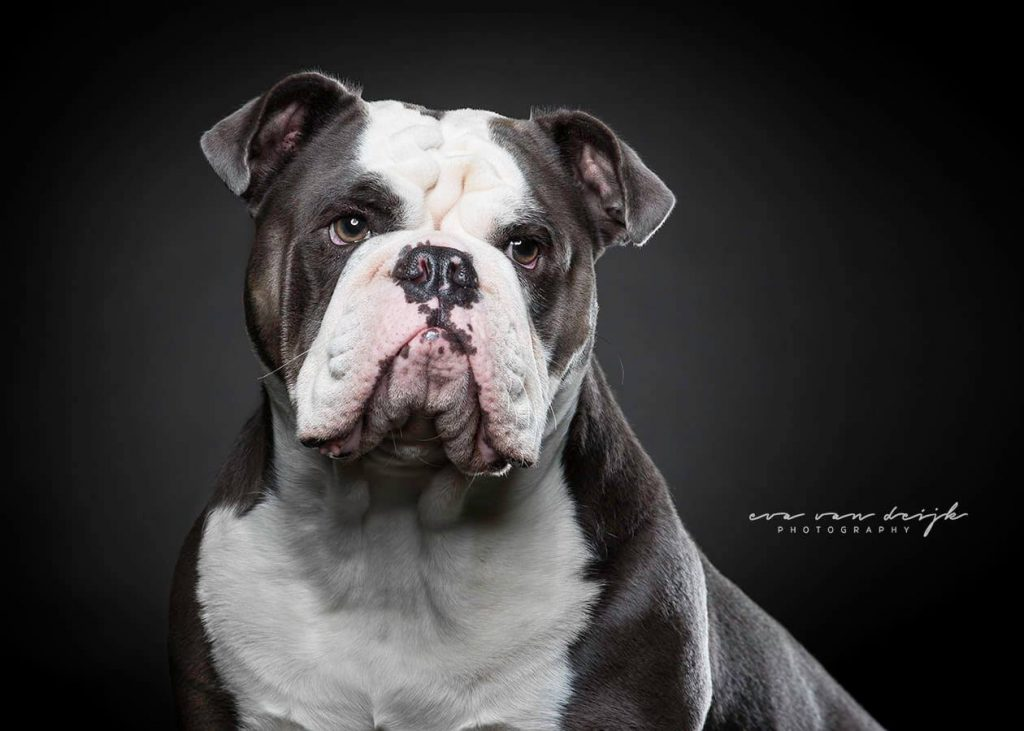 old english bulldog rebelbullys blue ivy